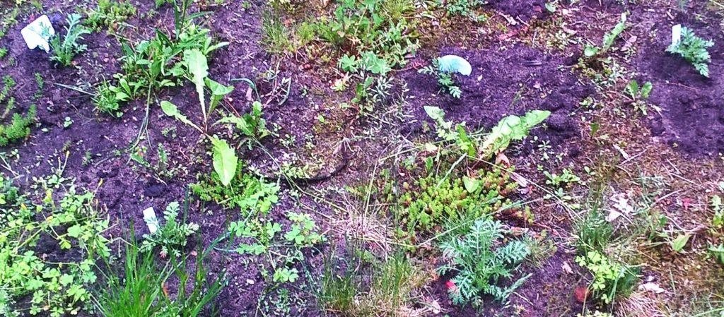 frisch ausgepflanzte Färberhundskamille